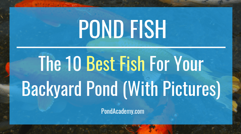 Pond Fish: The 10 Best Fish For Your Backyard Pond (With